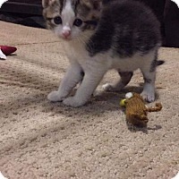 Adopt A Pet :: Addison - Columbus, OH