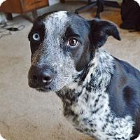 Adopt A Pet :: Oreo - White Settlement, TX