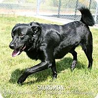 Adopt A Pet :: Sauromon - Appleton, WI