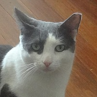 Adopt A Pet :: GENTLE CHAMPOLINO&Friends - New York, NY