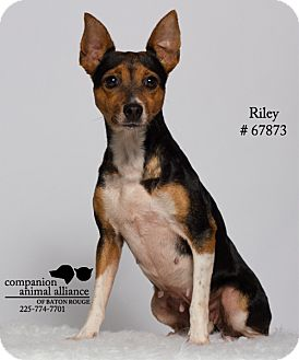 Jack Russell Terrier/Chihuahua Mix Dog for adoption in Baton Rouge, Louisiana - Riley  (Foster)