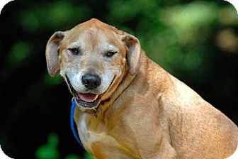 Labrador Retriever/Vizsla Mix Dog for adoption in Pottsville, Pennsylvania - Ingrid