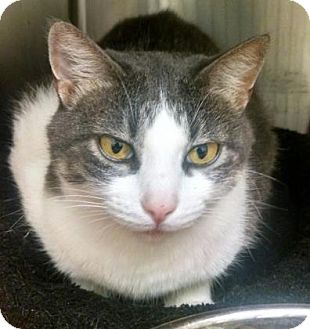 Domestic Shorthair Cat for adoption in Gloucester, Virginia - LANNA