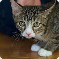 Domestic Shorthair Kitten for adoption in Huntsville, Alabama - Bandit