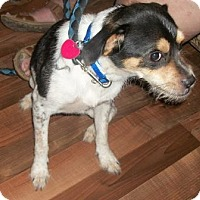Jack Russell Terrier Mix Dog for adoption in North Wilkesboro, North Carolina - Mickey Mouse