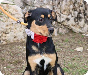 Rottweiler/Hound (Unknown Type) Mix Puppy for adoption in Denver, Colorado - Maggie