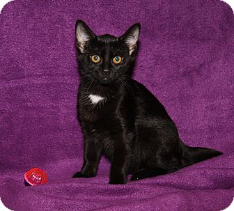 Domestic Shorthair Cat for adoption in Marietta, Ohio - Taylor (Spayed)
