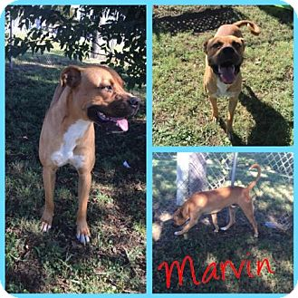 Rhodesian Ridgeback/Boxer Mix Dog for adoption in Alvarado, Texas - MARVIN