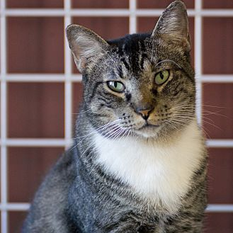 Domestic Shorthair Cat for adoption in Houston, Texas - CHASE