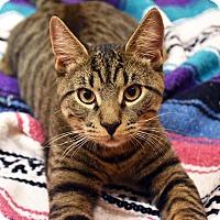Domestic Shorthair Cat for adoption in Bristol, Connecticut - Sheldon