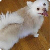 Pomeranian Mix Dog for adoption in Matthews, North Carolina - Leo