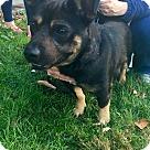 Adopt A Pet :: Roscoe