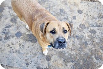 Boxer/Mastiff Mix Dog for adoption in Ruston, Louisiana - Love Bug