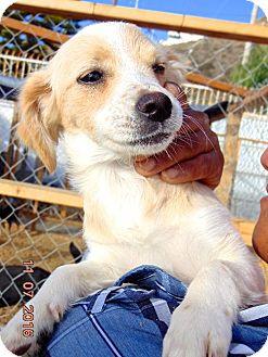 Chihuahua/Papillon Mix Puppy for adoption in San Diego, California - Glenda