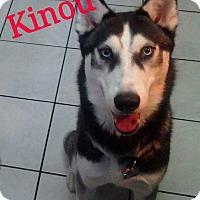 Adopt A Pet :: Kinou - Clearwater, FL