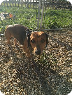 Dachshund Mix Dog for adoption in Wyanet, Illinois - Bowser