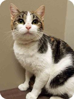 Calico Kitten for adoption in Hinsdale, Illinois - ADOPTED!!!   Astrid