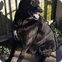 Adopt A Pet :: Samson - Mount Carroll, IL