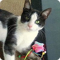 Domestic Shorthair Cat for adoption in Cleveland Heights, Ohio - Allie ~ Pure Love!!