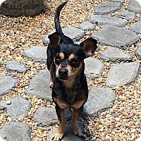 Adopt A Pet :: Merle - Melbourne, FL