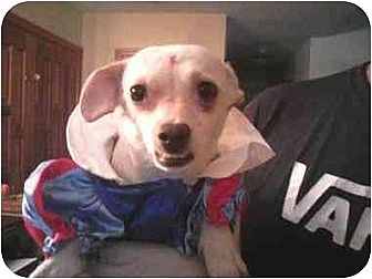Parson Russell Terrier/Terrier (Unknown Type, Medium) Mix Dog for adoption in Colton, California - Abby