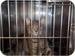 Domestic Shorthair Cat for adoption in New Kent, Virginia - Penelope