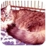 Photo 1 - Maine Coon Cat for adoption in New York, New York - Tomasina