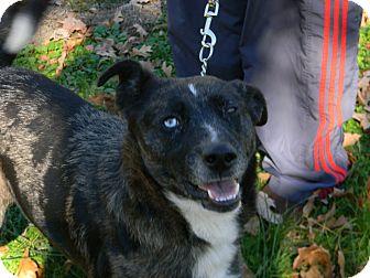 Australian Shepherd/Husky Mix Dog for adoption in Germantown, Maryland - Hoss
