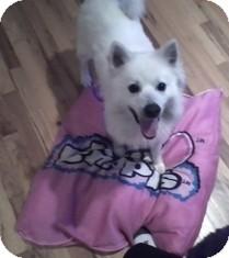 American Eskimo Dog Dog for adoption in selden, New York - Benji