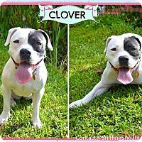 Adopt A Pet :: Clover - Orlando, FL