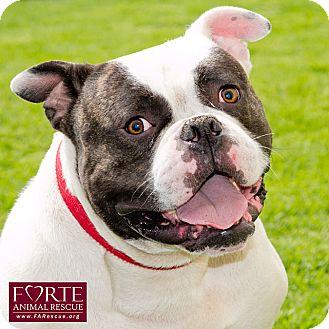American Bulldog/English Bulldog Mix Dog for adoption in Marina del Rey, California - Happy