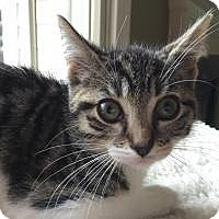 Adopt A Pet :: Spock - East Hanover, NJ