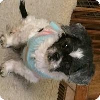 Adopt A Pet :: LittleTzu - Homer Glen, IL