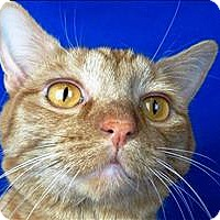 Adopt A Pet :: Marmalade - Sherwood, OR
