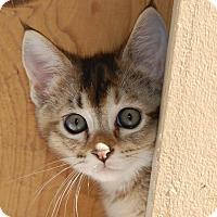 Adopt A Pet :: Marigold - Mountain View, CA