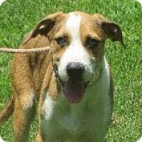 Beagle/Australian Shepherd Mix Puppy for adoption in Greenville, Rhode Island - Alec