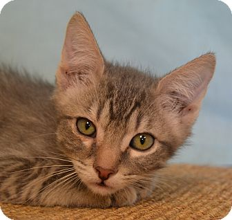 Domestic Shorthair Kitten for adoption in Larned, Kansas - Smokie