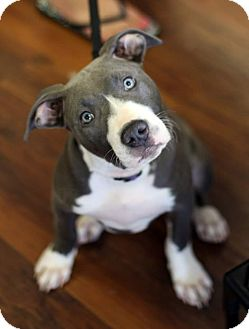 Pit Bull Terrier Mix Puppy for adoption in Baltimore, Maryland - Adele