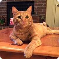 Domestic Shorthair Cat for adoption in Flower Mound, Texas - Cricket