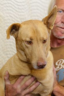 Anatolian Shepherd/Pharaoh Hound Mix Dog for adoption in Corona, California - Miles Alirio, Stunning Hound