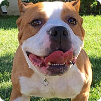 American Pit Bull Terrier/English Bulldog Mix Dog for adoption in San Pedro, California - Felicity