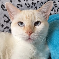 Siamese Cat for adoption in Pasadena, Texas - Sasha