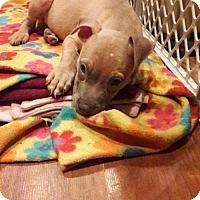 Adopt A Pet :: Kong - Centerburg, OH