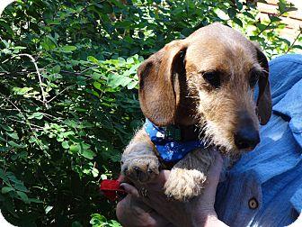 Dachshund Dog for adoption in Portland, Oregon - TANK