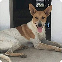 Australian Cattle Dog/Basenji Mix Dog for adoption in Jarrell, Texas - Sundance