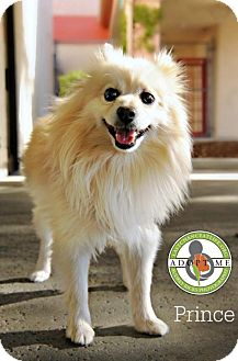 Pomeranian Dog for adoption in Oceanside, California - Prince