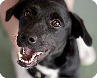 Labrador Retriever Mix Dog for adoption in Sunset, Louisiana - Ali