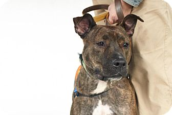 American Pit Bull Terrier/American Pit Bull Terrier Mix Dog for adoption in Durham, New Hampshire - Silly TRACEY needs HOME ASAP!