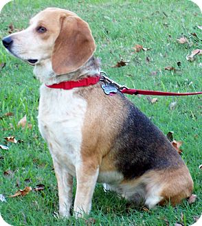 Beagle Dog for adoption in Houston, Texas - Rusty