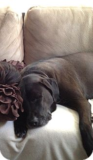 Labrador Retriever Mix Dog for adoption in Phoenix, Arizona - Dodger